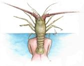 Coquillages et Crustacés - A3 - Stylo/aquarelle sur papier